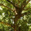 I love Bucuresti - I <3 Bucuresti: Cei mai batrani copaci din Bucuresti