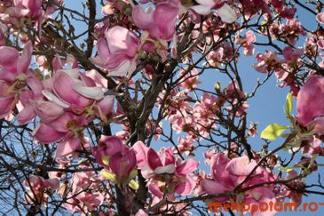 Magnolii din Cotroceni