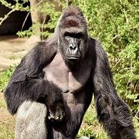 O gorila a gradinii zoo din Cinicinatti a fost impuscata mortal dupa ce un copil a cazut in cusca acesteia