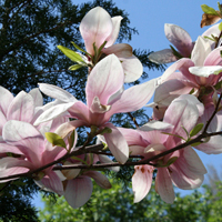 I love Bucuresti - I <3 Bucuresti: Magnolii infloriti din Cotroceni