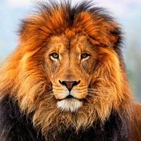 La zi pe Metropotam - Un barbat din Chile a incercat sa se sinucida intrand in cusca leilor