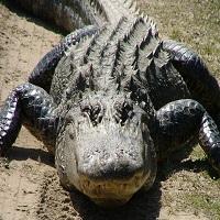 Un crocodil de marimea unui dinozaur a fost vazut in Florida, iar imaginile au facut senzatie pe internet