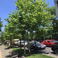 Utile - Ce spune primaria despre arborii care sunt si vor fi taiati din Bucuresti