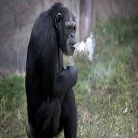 Cimpanzeul de la zoo din Pyongyang este WOW - are 19 ani si fumeaza un pachet de tigari pe zi